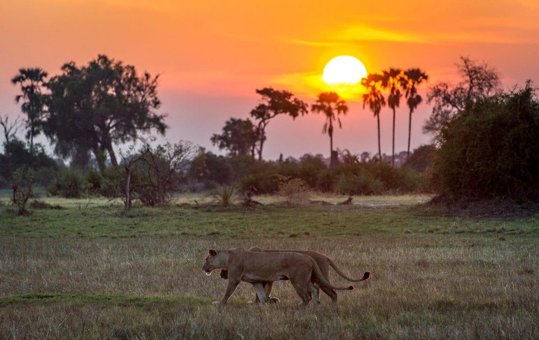 Lions foraging the Selous Plains