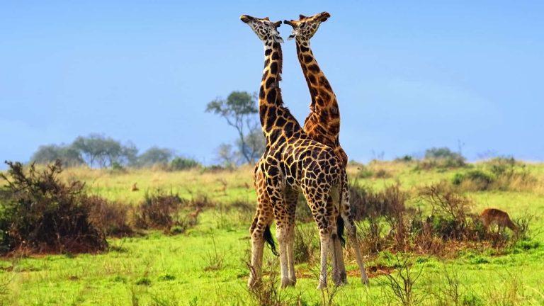 שתי ג'ירפות בקניה