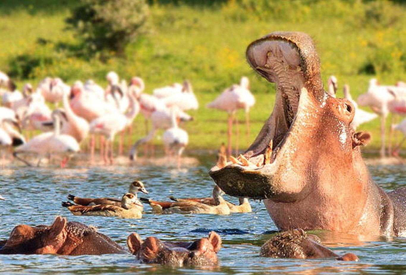Hippos in their natural habitat in Selous