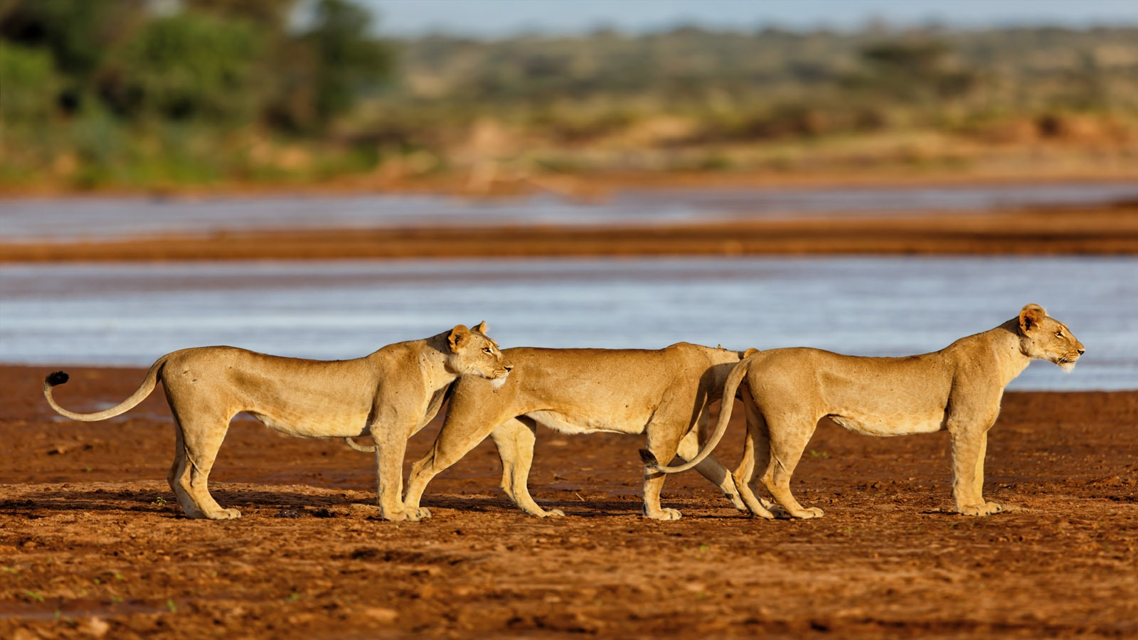 Lions on hunt near water lakes