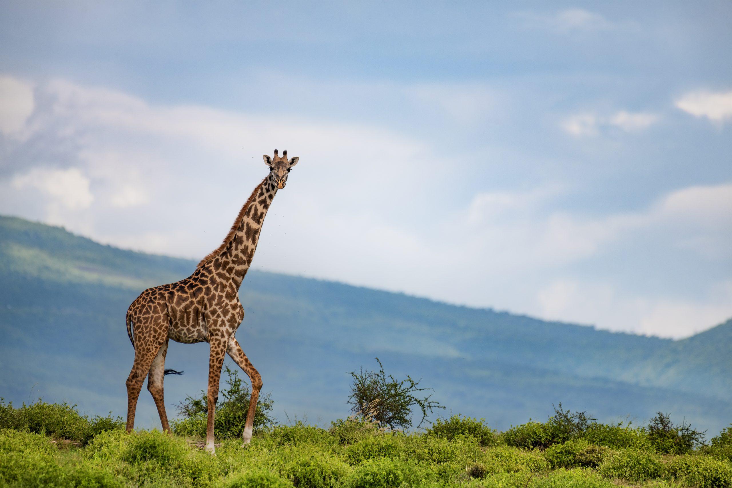 ג'ירפה בטנזניה